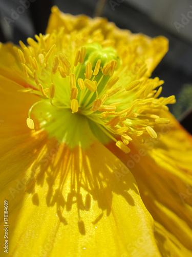Yellow Welsh poppy - 170184689