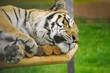 Тигр спит в вольере.