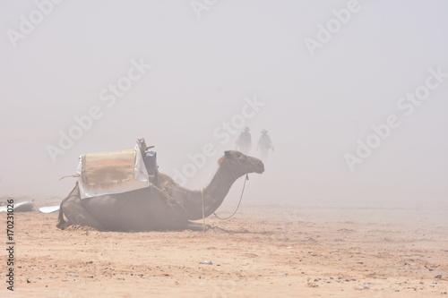 Fotobehang Kameel DROMADAIRE EN PLEINE TEMPETE DE SABLE A SIDI KAOUKI, MAROC