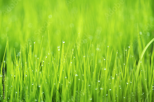 Foto op Plexiglas Gras Spring or summer season abstract nature background with grass and drops, selective focus.