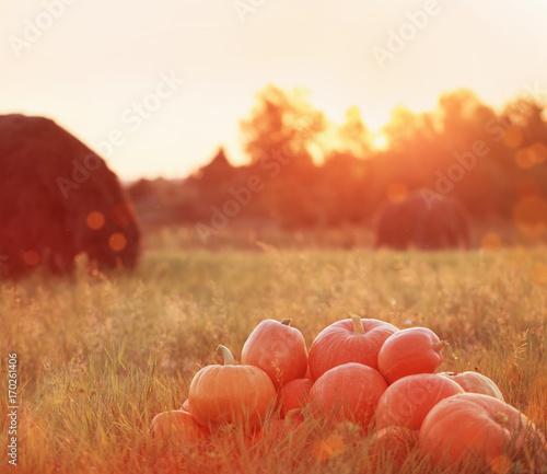 orange pumpkins at sunset