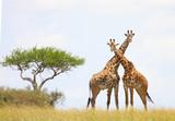 Giraffe crossing necks - Masai Mara