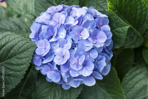 Fotobehang Hydrangea Blue hydrangea over dark green leaf background
