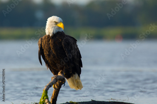 Fotobehang Eagle Eagle Perched on branch in water