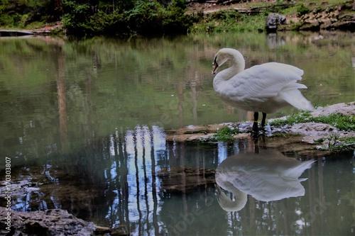 Fotobehang Zwaan a swan in lake of Sompunt