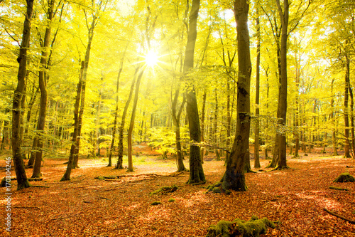 Fotobehang Geel Autumn forest with sun beam.