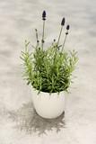 Lavendel im Blumentopf