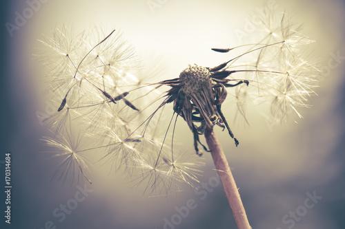 Pusteblume mit Farbeffekt wenig Farbe © Goldengel