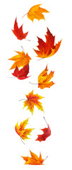Isolated maple leaves. Falling red and orange maple leaves isolated on white background with clipping path © Anna Kucherova