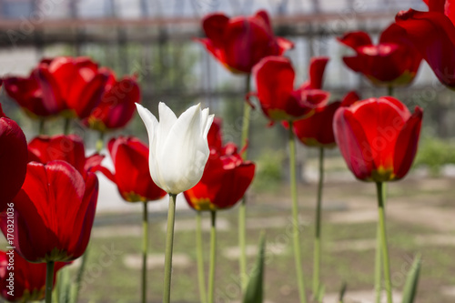 Fotobehang Tulpen Beautiful view of red tulips in the garden. One white tulip among the red tulips. concept - individuality and loneliness