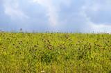Sommerwiese mit Rotklee - 170337287