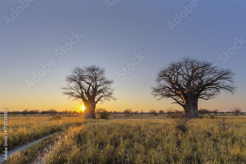Fotobehang Baobab Sun starburst at Baines campsite