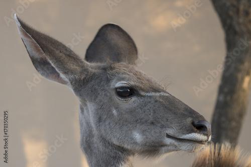 Fotobehang Hert Female Kudu