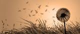 Schöne Pusteblume beim Sonnenuntergang © Thaut Images