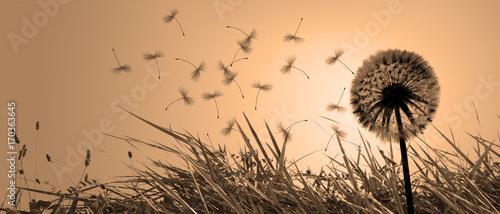 Fototapeta Schöne Pusteblume beim Sonnenuntergang