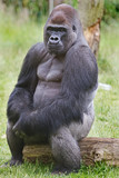 Silverback Western Lowland Gorilla sitting posing while sitting on a log - 170367021