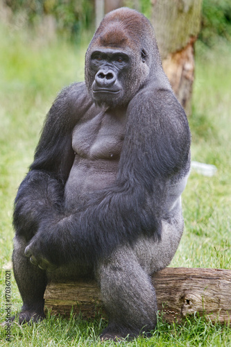 Silverback Western Lowland Gorilla sitting posing while sitting on a log Poster