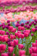 a profusion of spring tulips