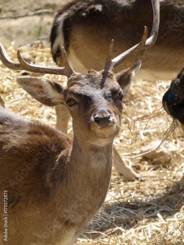 Fotobehang Hert Deer looking atvcamera