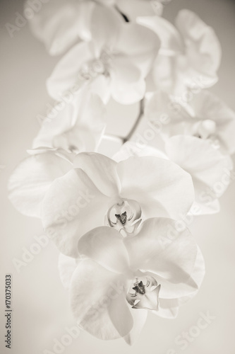 White orchid on white background - 170375033