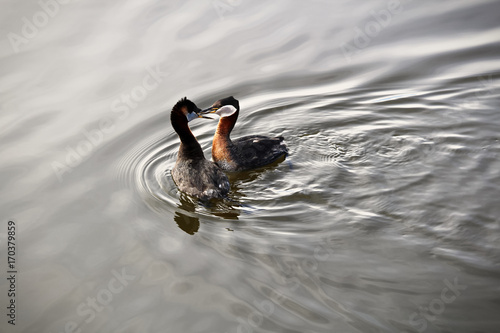 Foto op Plexiglas Canada A pair of red necked grebes courting