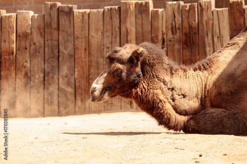 Fotobehang Kameel Bactrian camel Camelus bactrianus