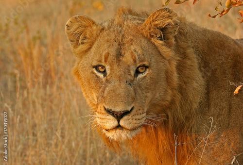Fotobehang Lion Golden Portrait