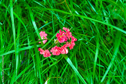 Staande foto Groene Bright red flower in a green grass background on the theme of summer landscape