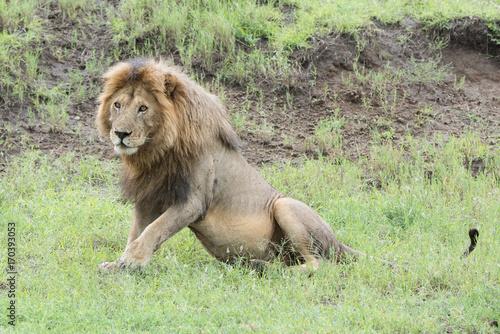 Fotobehang Lion Lion (Panthera leo)