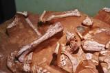 動物の骨の化石標本
