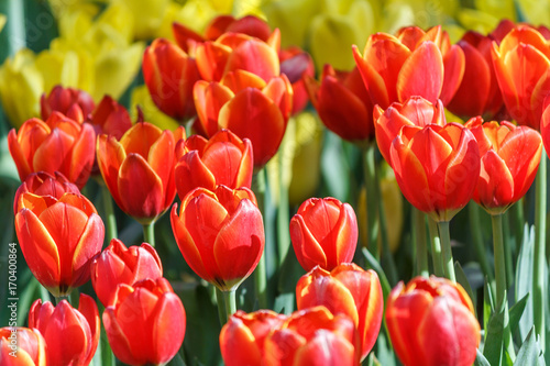 Fotobehang Rood Beautiful tulip flower and green leaf background in the garden at winter or spring day for postcard. beauty decoration and agriculture idea concept design.