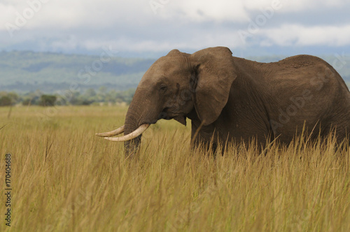Elephant on African savanna - Mikumi National Park, Tanzania Poster