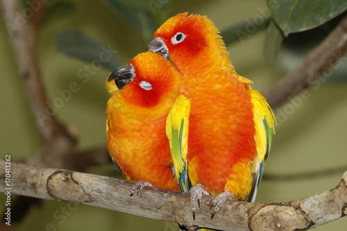 perruche-du-soleil-couple-assis-sur-une-branche-aratinga-solstitialis