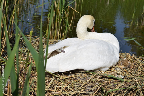 Fotobehang Swans with cygnets, baby swan