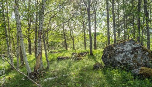 Papiers peints Stockholm Vildvuxen skogskulle med björkar och högt gräs