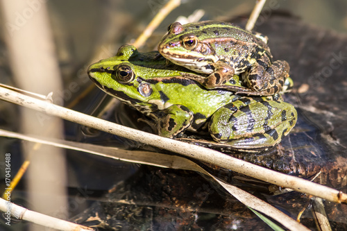 Fotobehang Kikker closeup of couple of European green frogs mating in pond
