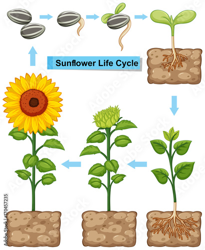 Fotobehang Kids Life cycle of sunflower plant
