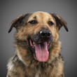 ginger funny dog - a symbol of 2018, stuck out his tongue and smiles, posing on grey background