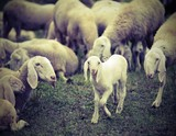 young lamb in the middle of the numerous flock of sheep grazing