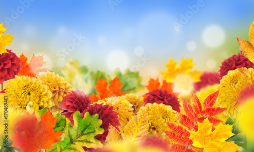 Autumn flowers and yellowed leaves of maple and oak. Background of chrysanthemums.