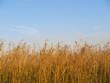 Wild Indian Prairie Grass Landscape with blue skies in Alberta