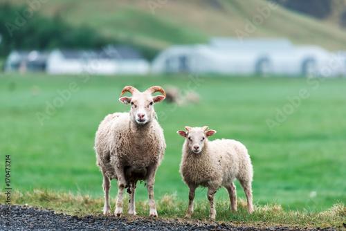 Foto op Plexiglas Gras Two sheeps on green meadow