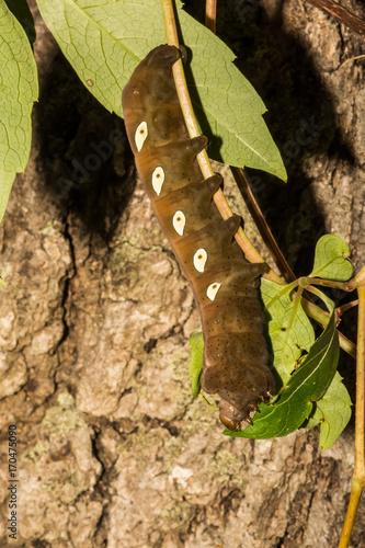 Pandora Sphinx Moth Larva Poster