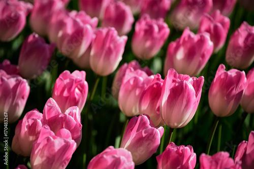 Aluminium Candy roze Blooming tulips flowerbed in Keukenhof flower garden, Netherland