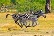 Burchell Zebras running across the African Savannah