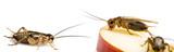 cricket - Gryllus assimilis - feeding insects - 170484658