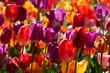 Blooming tulips flowerbed in Keukenhof flower garden, Netherland - 170485052