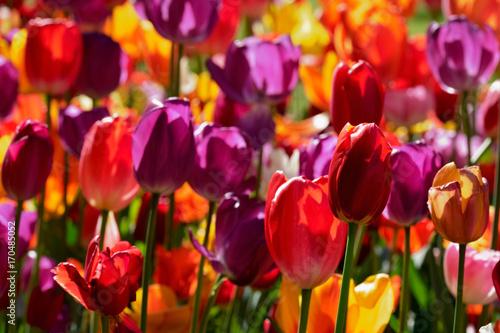 Fotobehang Tulpen Blooming tulips flowerbed in Keukenhof flower garden, Netherland