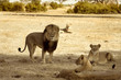 Cecil the Iconic Lion and his pride on the Plains in Hwange, Zimbabwe