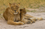Mother Lioness with her cub resting betweej her paws in Hwange, Zimbabwe